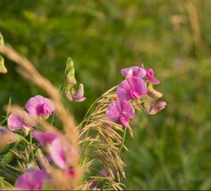 pollinator flowers